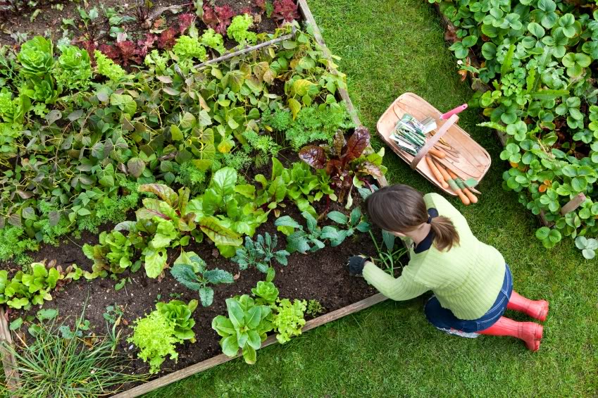 Birds eye view of a woman gardener weeding an organic vegetable garden with a hand fork.